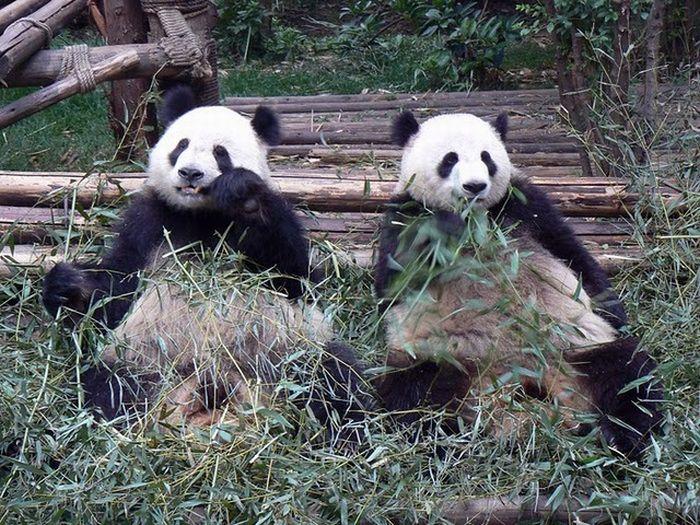壁纸 大熊猫 动物 700_525