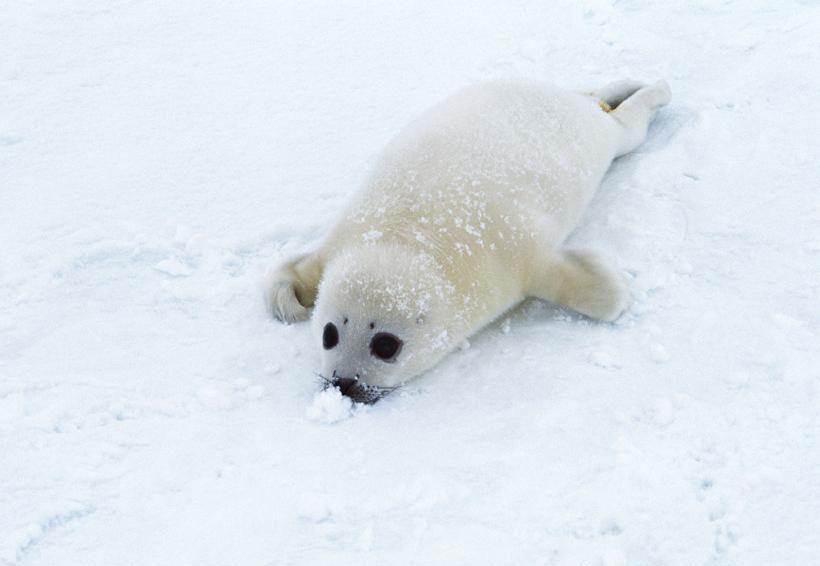 很可爱的雪地小海狮