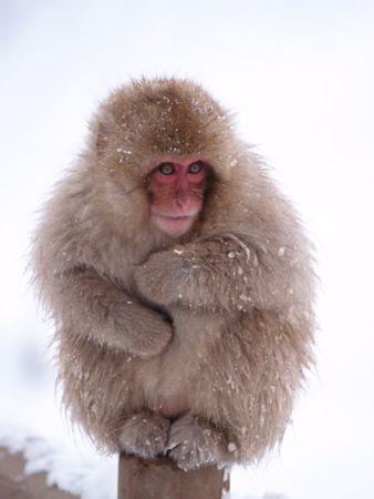 短尾雪猿价值3500美金稀有动物,其栖息地被人类越来越多地侵袭,数种