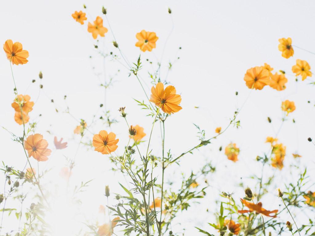 云之彼岸 天之花园 ——十月三十一日为你种下波斯菊