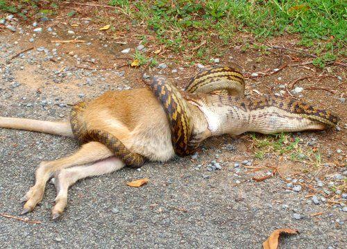 澳洲昆士拉上演蛇吞袋鼠(组图)