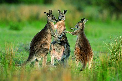 """澳科学家:人类和袋鼠在1.5亿年前是""""一家""""(图片)"""