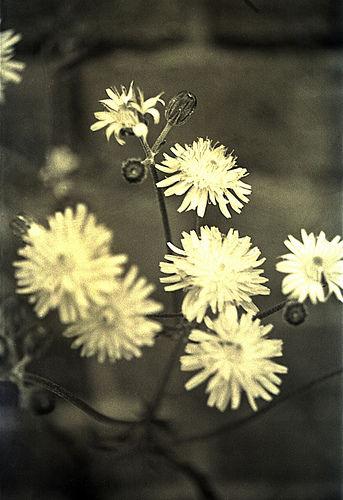 云之彼岸 天之花园 ——一月二日为你种下野滥缕菊