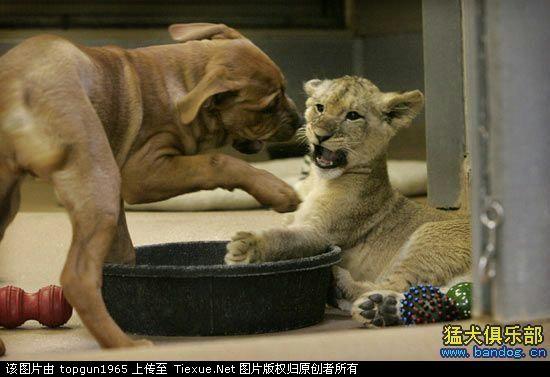 最可爱的小狮子和比特狗抢吃的