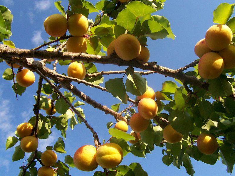 云之彼岸 天之花园 ——二月二十三日为你种下杏树