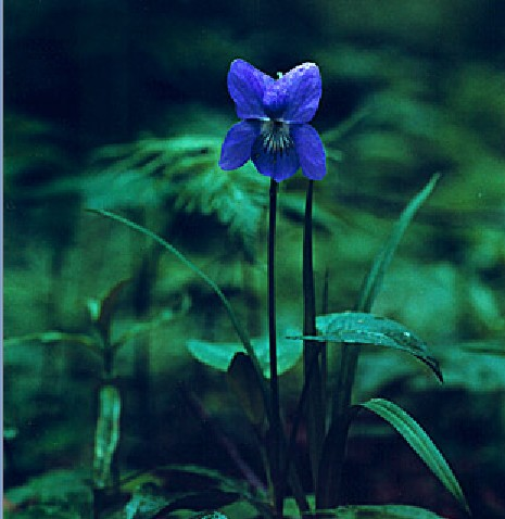 云之彼岸 天之花园 ——四月十日为你种下野生紫罗兰