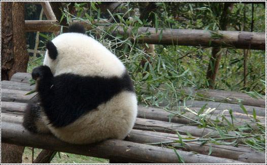 小熊猫图片可爱背影