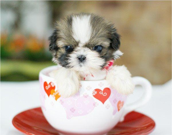 可爱的迷你茶杯犬