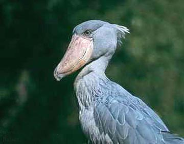 鲸头鹤  是一种濒临灭绝的动物……别看它长得傻,它能吃鳄鱼.