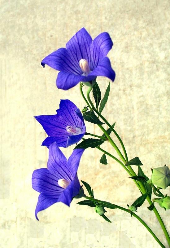 桔梗花的花语是——真诚不变的爱