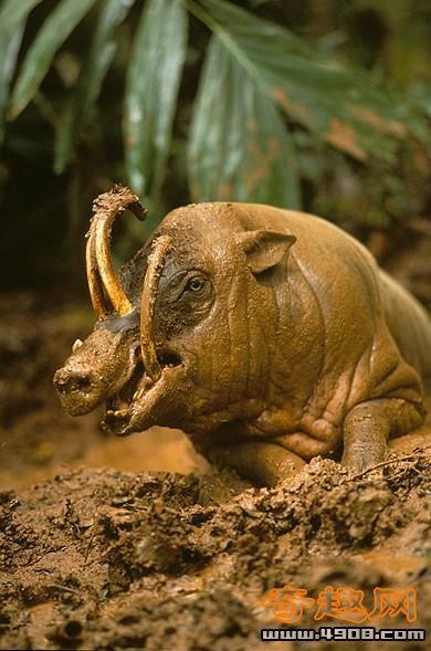69 全球15种奇特动物      美西螈是一种火蜥蜴,这种两栖动物是动物