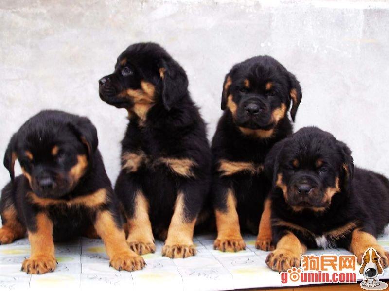 的 伴侣 犬 护卫 犬 和 多 用途 犬 种