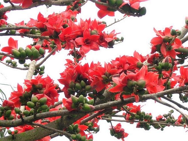 【自然景观】木棉花的春天